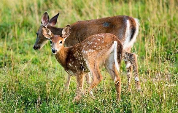 Косуля-животное-Описание-особенности-виды-образ-жизни-и-среда-обитания-косули-6