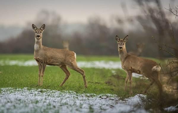 Косуля-животное-Описание-особенности-виды-образ-жизни-и-среда-обитания-косули-8