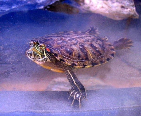 Красноухая черепаха у вас дома: советы новичкам