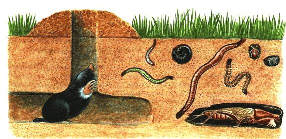 крот питется насекомыми и червями