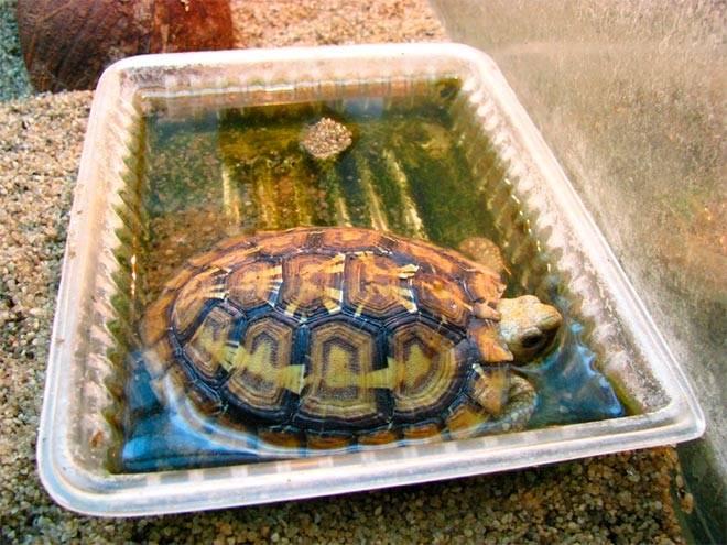 купание среднеазиатской черепахи