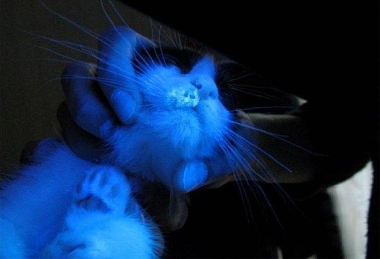 Как лечится стригущий лишай у кошек