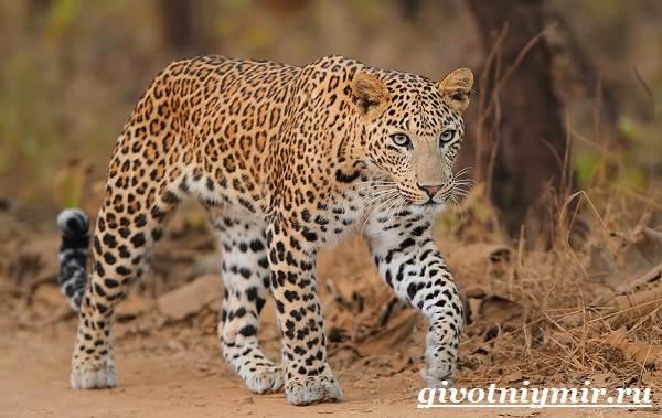 Леопард-животное-Образ-жизни-и-среда-обитания-леопарда-3