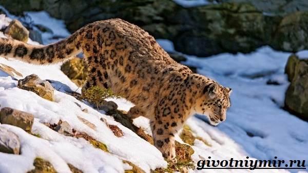 Леопард-животное-Образ-жизни-и-среда-обитания-леопарда-7