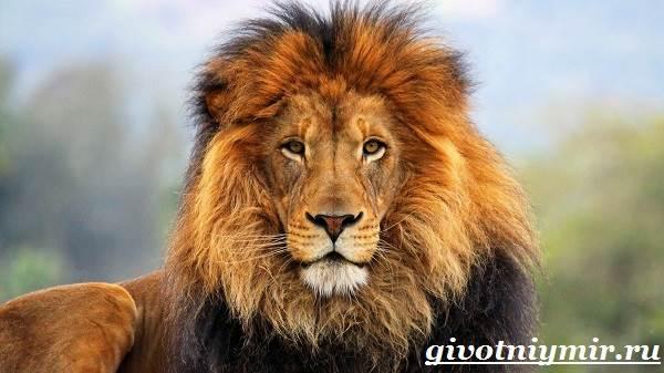 Лев-животное-Образ-жизни-и-среда-обитания-льва-1