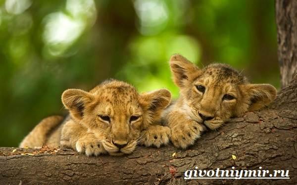 Лев-животное-Образ-жизни-и-среда-обитания-льва-10