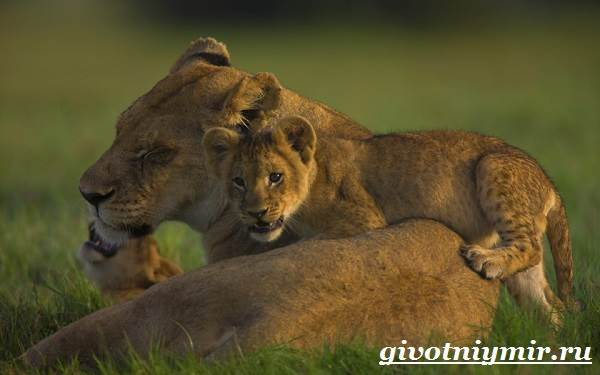 Лев-животное-Образ-жизни-и-среда-обитания-льва-11