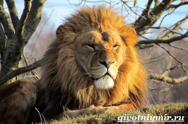 Лев-животное-Образ-жизни-и-среда-обитания-льва-2