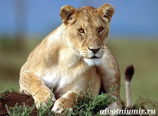 Лев-животное-Образ-жизни-и-среда-обитания-льва-3
