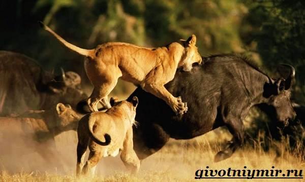 Лев-животное-Образ-жизни-и-среда-обитания-льва-7