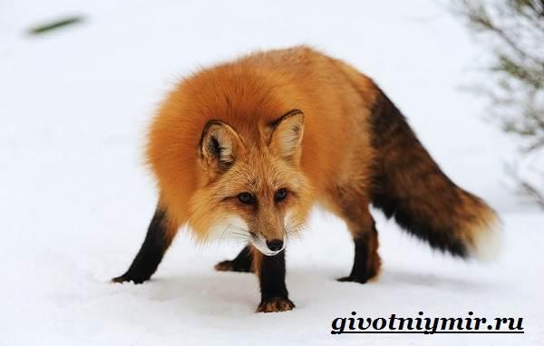 Лиса-животное-Образ-жизни-и-среда-обитания-лисы-7