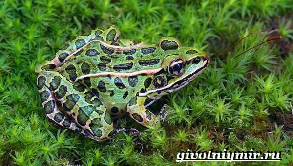 Лягушка-животное-Образ-жизни-и-среда-обитания-лягушки-21
