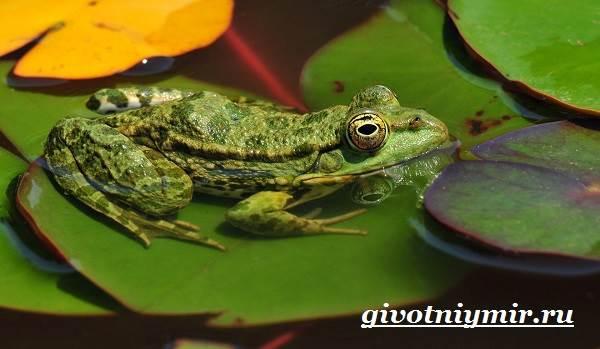 Лягушка-животное-Образ-жизни-и-среда-обитания-лягушки-5