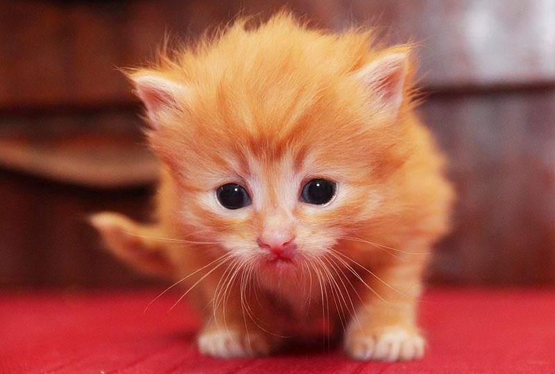 Маленький рыжий котёнок