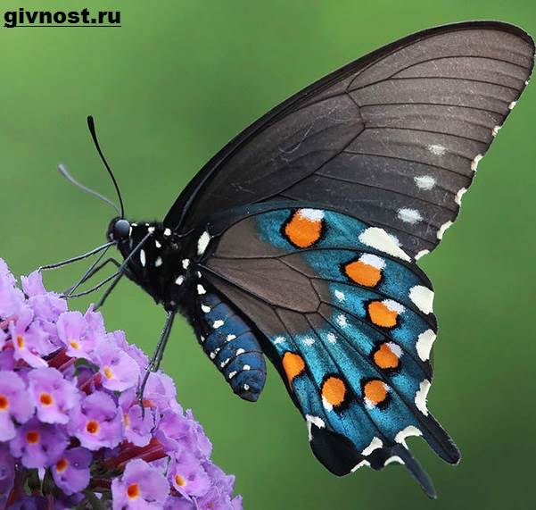 Махаон-бабочка-насекомое-Образ-жизни-и-среда-обитания-махаона-8