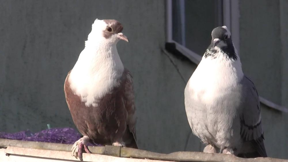 Воронежские белозобые голуби