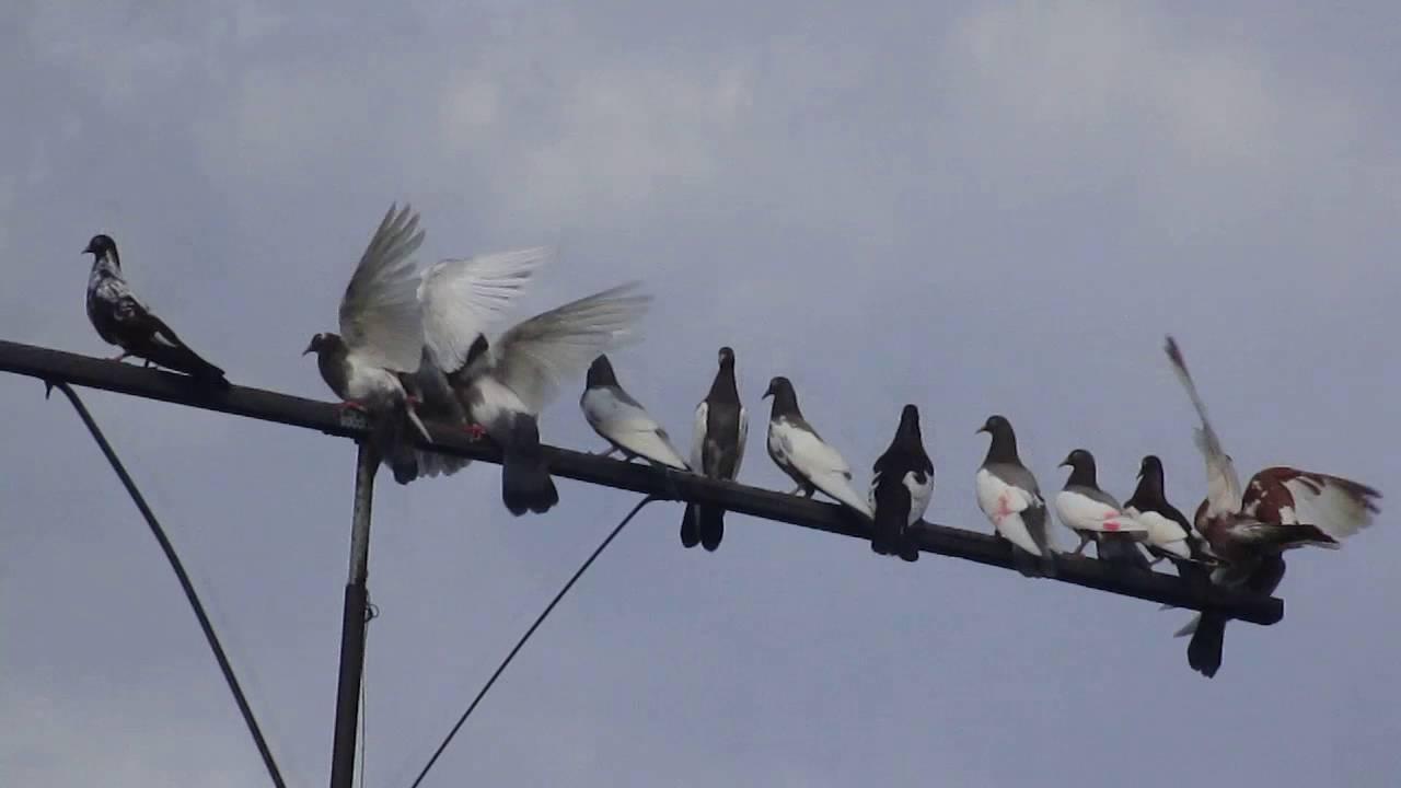 Дубовские голуби