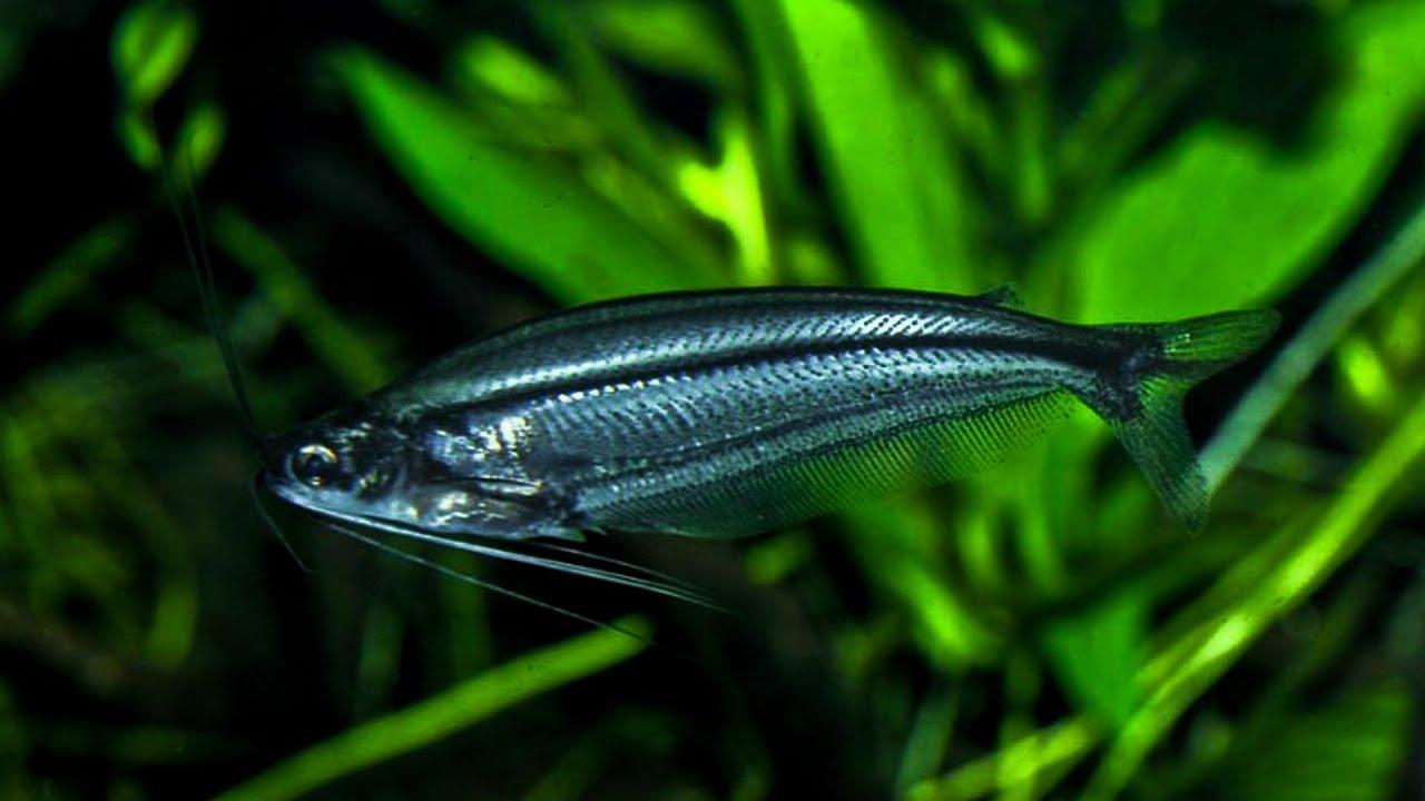 Описание аквариумной рыбки стеклянный индийский сом. Стеклянный индийский сомик — я вижу тебя насквозь Сом стеклянный содержание