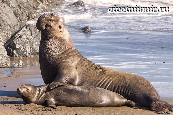 Морской-слон-Образ-жизни-и-среда-обитания-морского-слона-5