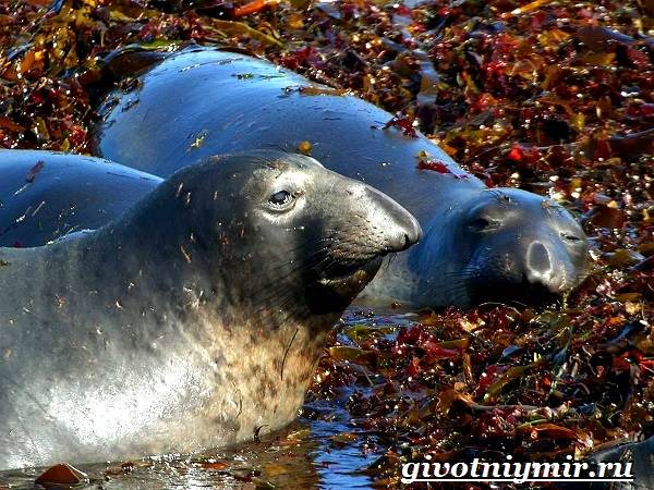 Морской-слон-Образ-жизни-и-среда-обитания-морского-слона-9