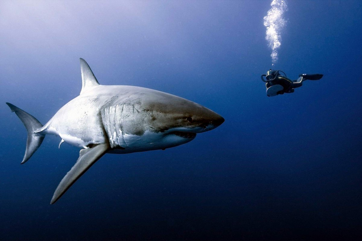 Встреча белой акулы с человеком