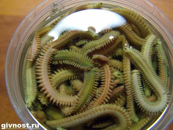 Нереис-червь-Образ-жизни-и-среда-обитания-червя-нереиса-7