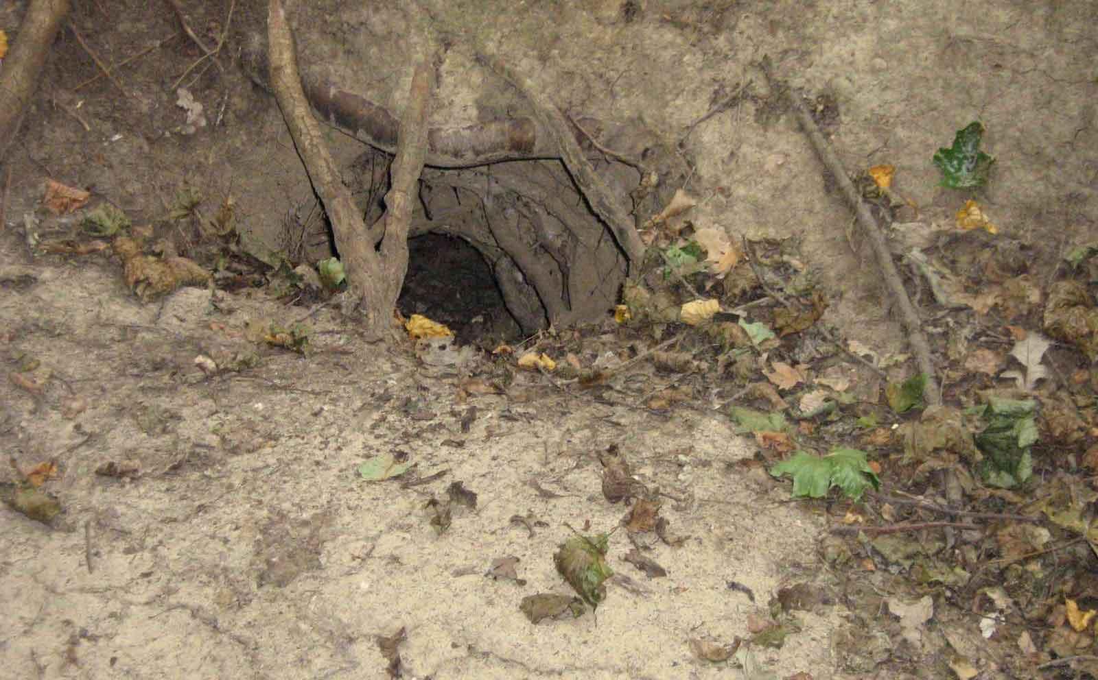 Норы барсуков - это сложные подземные сооружения