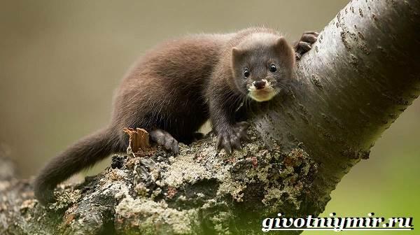 Норка-животное-Образ-жизни-и-среда-обитания-норки-1