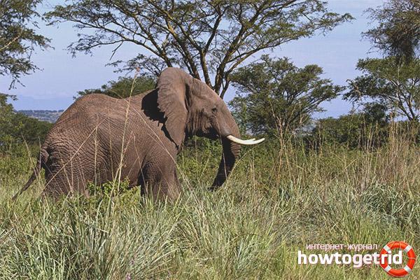 Образ жизни африканского слона