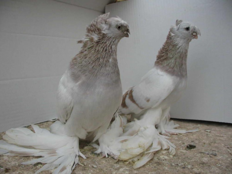 Разновдности пород голубей
