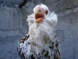 Голодная орловская курица