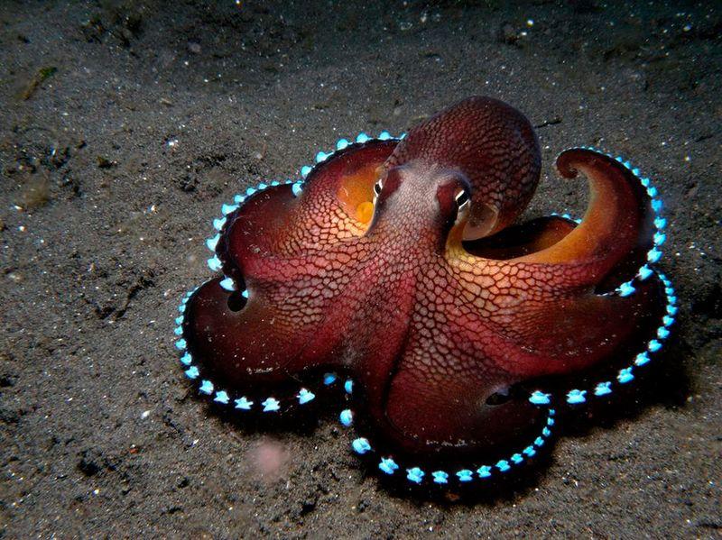 Реальное количество сердец у осьминога