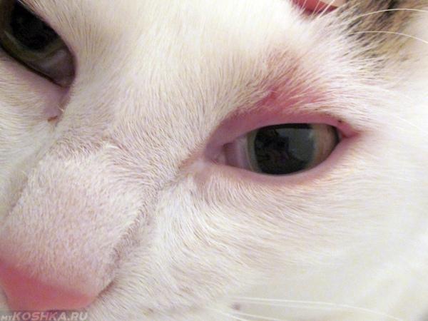 Отёчность век при конъюнктивите у кошки