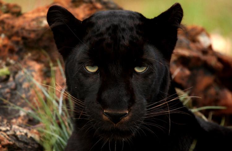 Взгляд пантеры