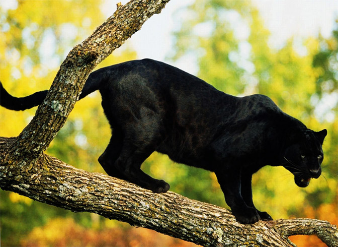 Пантера на охоте