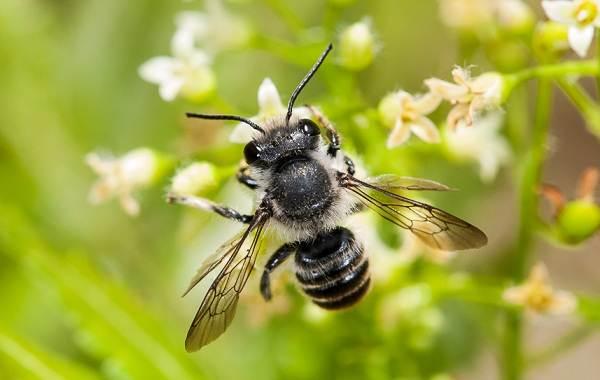 Пчела-насекомое-Описание-особенности-виды-образ-жизни-и-среда-обитания-пчелы-9