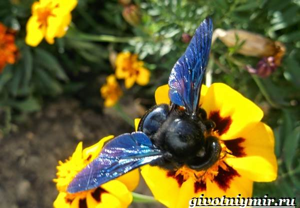 Пчела-плотник-Образ-жизни-и-среда-обитания-пчелы-плотника-3