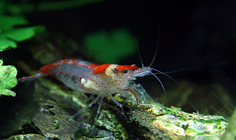 полупрозрачная креветка с крапинками на брюхе и красно-белой спинкой