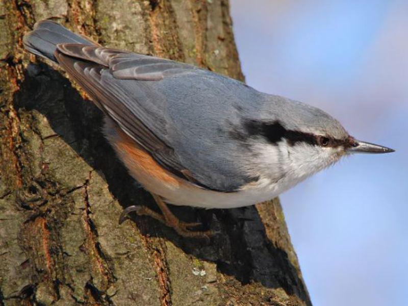 Внешние данные птицы поползень