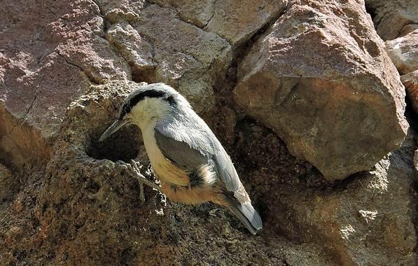 Поползень-птица-Описание-особенности-виды-образ-жизни-и-среда-обитания-поползня-12