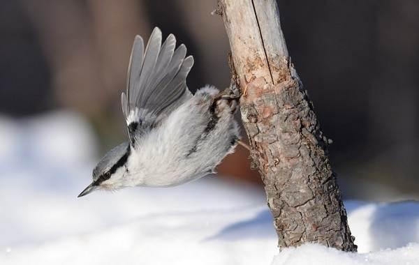 Поползень-птица-Описание-особенности-виды-образ-жизни-и-среда-обитания-поползня-13
