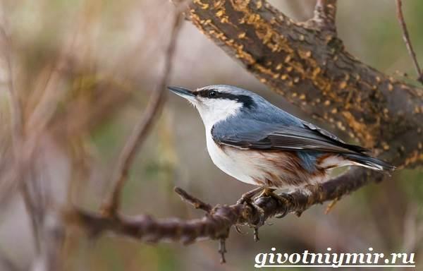 Поползень-птица-Среда-обитания-и-образ-жизни-поползня-3