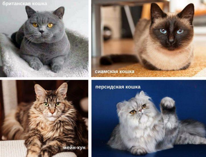 породы кошек часто болеющие вирусным энтеритом