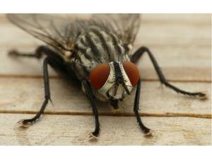 Присоски на лапах у мухи