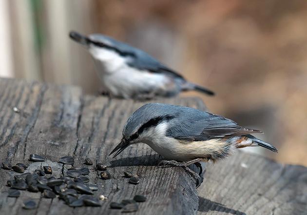 На сегодняшний день есть некоторые подвиды поползней, популяция которых вызывает опасения