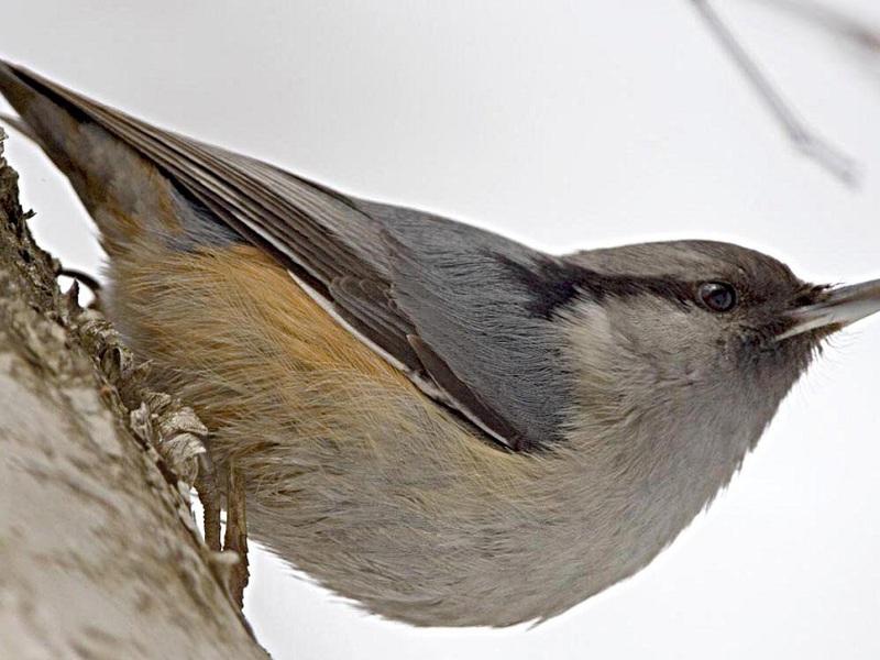 Птенци птицы поползень
