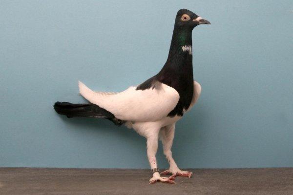 Берлинский длинноклювый голубь
