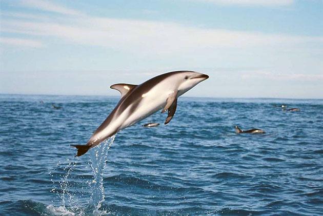 Беломордый дельфин занесен в красную книгу и охраняется законом