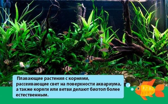 аквариум для барбуса