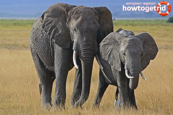 Разновидности слонов
